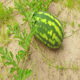 Watermelon - VideoHive Item for Sale