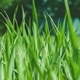 Green Grass in the Wind. Blurred Background with House - VideoHive Item for Sale
