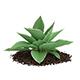 Hosta Plant (Hosta kiyosumiensis)