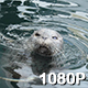 Harbor Seal Spins in the Water - VideoHive Item for Sale