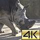 Southern White Rhinoceros (Ceratotherium Simum Simum) 01 - VideoHive Item for Sale