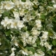 Beautiful Jasmine White Flowers, Summer Day. Flowers In The Wind - VideoHive Item for Sale