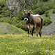 Cow Grazing on a Green Meadow - VideoHive Item for Sale
