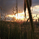 Wheat Field During Sunset - VideoHive Item for Sale