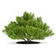 Pine Shrub (Pinus)