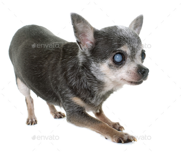 old chihuahua with cataract - Stock Photo - Images