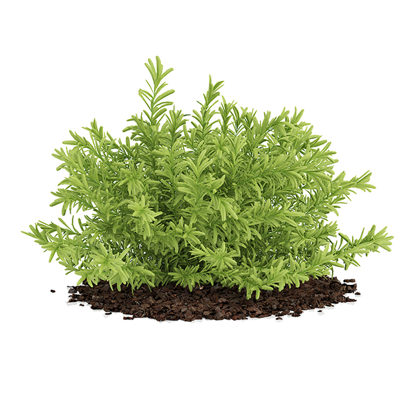 Thin Leaves Sedum Plant (Sedum album) - 3DOcean Item for Sale