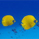 Colorful Tropical Underwater Fish Butterflyfish - VideoHive Item for Sale