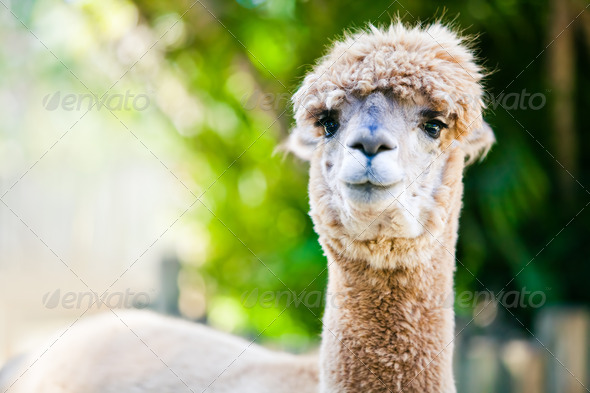 Alpaca portrait on green natural background - Stock Photo - Images