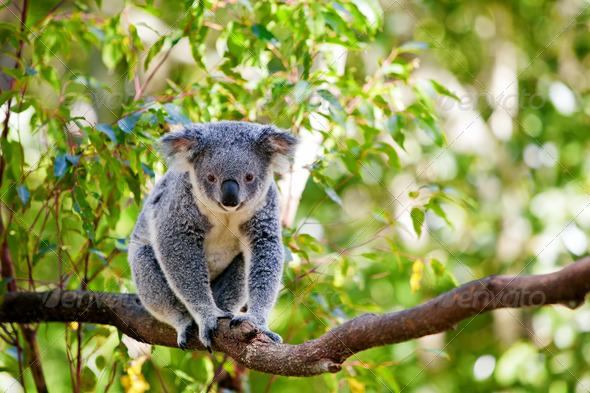 Australian koala in its natural habitat of gumtrees - Stock Photo - Images