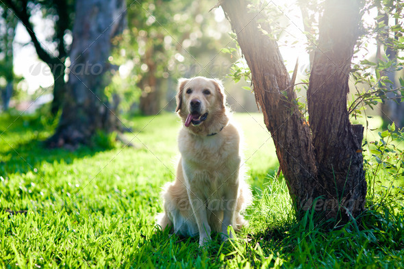 Golden retriever sitting on grass under tree - Stock Photo - Images