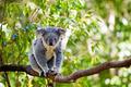 Australian koala in its natural habitat of gumtrees - PhotoDune Item for Sale