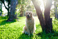 Golden retriever sitting on grass under tree - PhotoDune Item for Sale