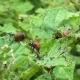 Colorado Potato Beetle Eat Potatoes. Slider - VideoHive Item for Sale