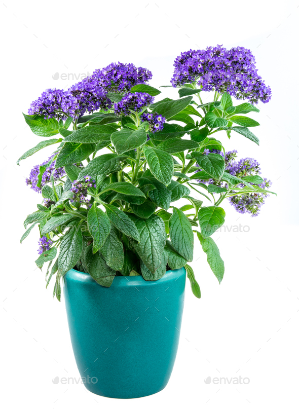 Isolated potted purpled garden heliotrope flower - Stock Photo - Images