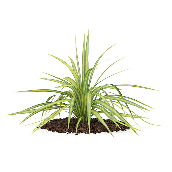 Yellow Yucca Plant (Yucca arkansana) - 3DOcean Item for Sale
