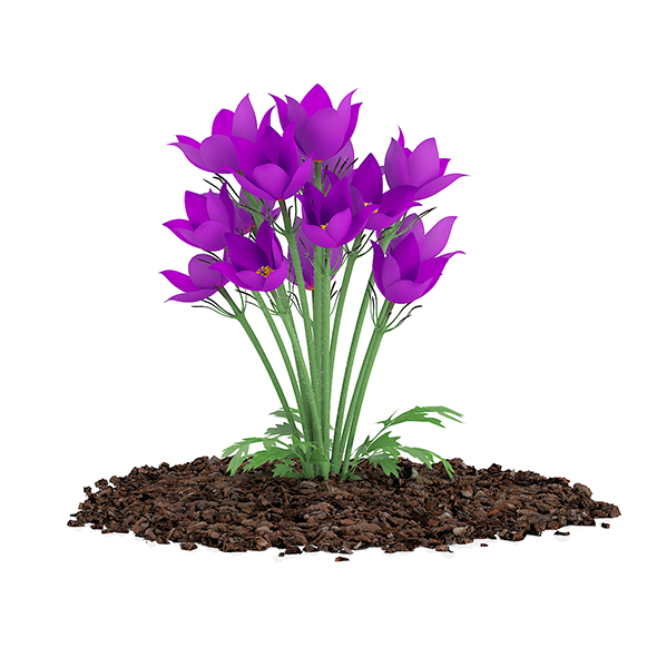 Pasque Flowers (Pulsatilla Vulgaris) - 3DOcean Item for Sale