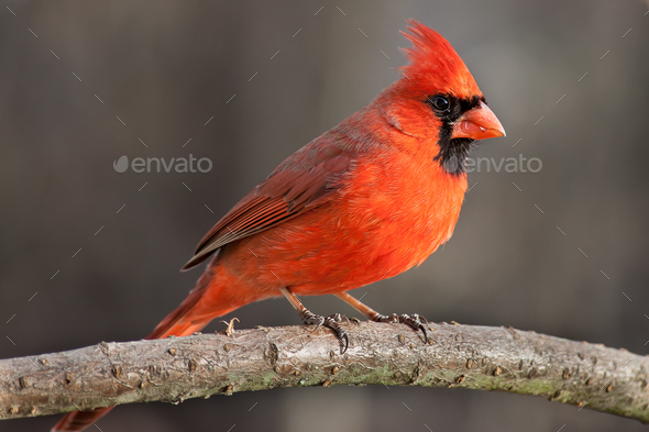 Northern Cardinal - Stock Photo - Images