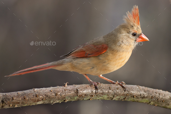 Northern Cardinal (Female) - Stock Photo - Images