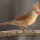 Northern Cardinal (Female) - PhotoDune Item for Sale