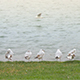 Seagulls Resting on Shore Near Water 1 - VideoHive Item for Sale
