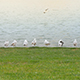 Seagulls Resting on Grass Near Water 1 - VideoHive Item for Sale