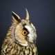 Young Long-eared Owl 2 - VideoHive Item for Sale