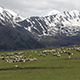 Herd of Sheeps in Mountains on Georgia, Caucasus - VideoHive Item for Sale