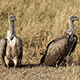 Vultures on the African Plains - VideoHive Item for Sale