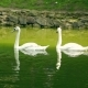 White Swans In Summer Sunny Day On Lake - VideoHive Item for Sale