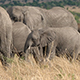 African Elephant Herd Walking - VideoHive Item for Sale