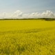 Yellow Rape Seed Field In Spring - VideoHive Item for Sale