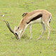 Thomson's Gazelle Grazing - VideoHive Item for Sale