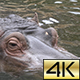 The Common Hippopotamus (Hippopotamus Amphibius) 04 - VideoHive Item for Sale