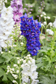 Blue and white larkspur flowers, Delphinium elatum