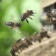 Bees Go in and out in the Hive - VideoHive Item for Sale
