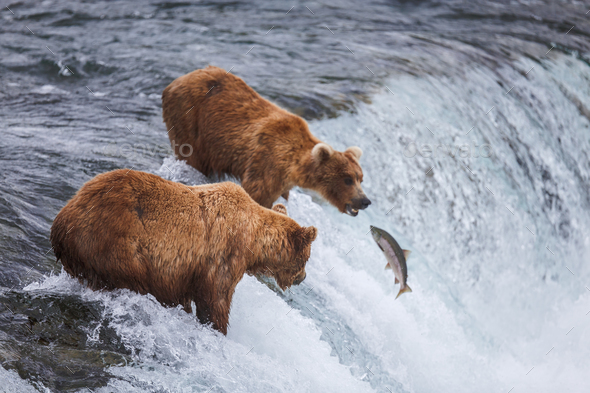Grizzly Bears Fishing For Salmon - Stock Photo - Images