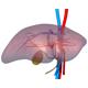 3D Liver Model - VideoHive Item for Sale