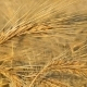 Ripe Oats In The Field, Agriculture And Rural Life, The Harvest Of The Field. - VideoHive Item for Sale