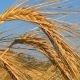 Golden Ripe Ears Of Wheat Against The Sky. - VideoHive Item for Sale