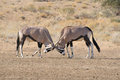 Oryx fighting