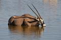 Oryx (Gemsbok) drinking water