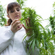 Download Scientist checking hemp flowers from PhotoDune