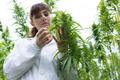 Scientist checking hemp flowers - PhotoDune Item for Sale