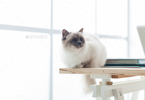Lovely birman cat at home - Stock Photo - Images