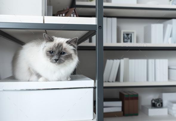 Beautiful cat exploring shelves - Stock Photo - Images