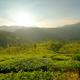 Sunrise over tea plantations in Munnar - PhotoDune Item for Sale