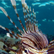 Underwater Lionfish with Blue Water Background - VideoHive Item for Sale