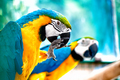 pair of Macaw parrots in the wild with tropical jungle background - PhotoDune Item for Sale