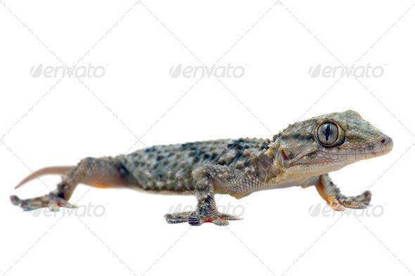 Tarentola mauritanica - Stock Photo - Images